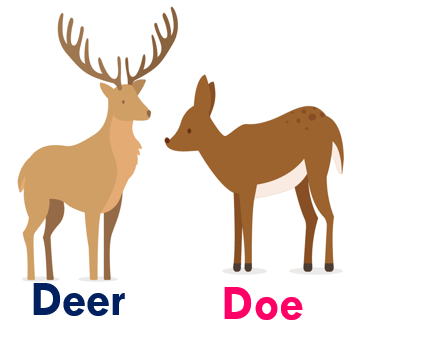Gender of animals Deer - Doe