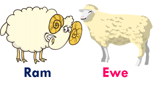 Gender of animals Ram - Ewe