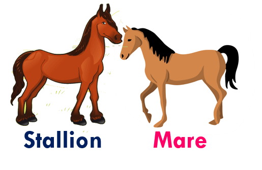 Gender of animals Stallion - Mare
