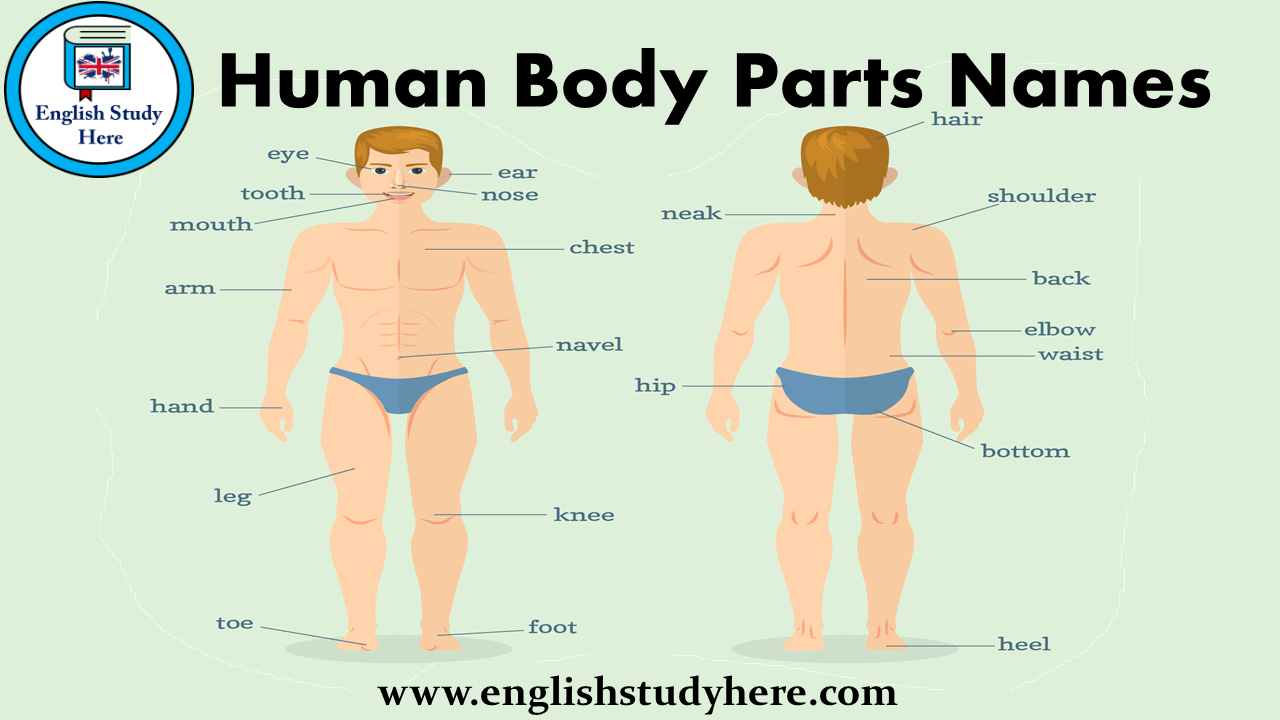 Human Body Parts Names English Study Here