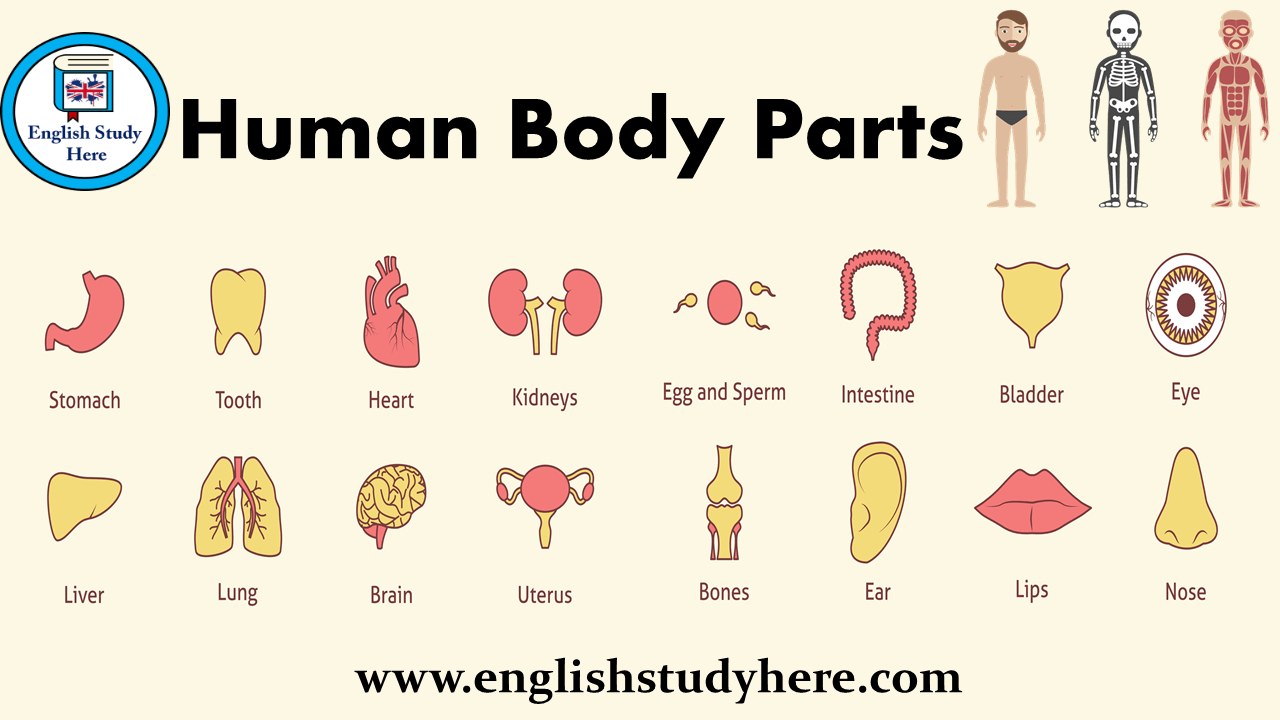 Human Body Parts English Study Here