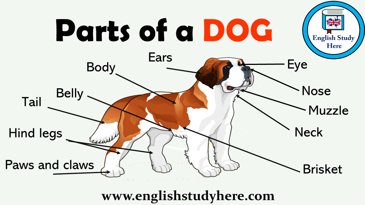 parts of a dog vocabulary english study here. Black Bedroom Furniture Sets. Home Design Ideas